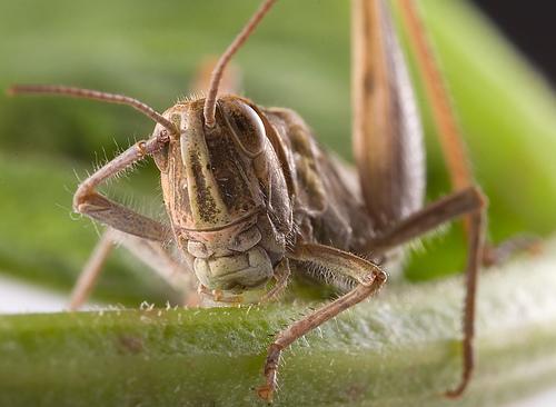 Aye Aye, Grasshopper